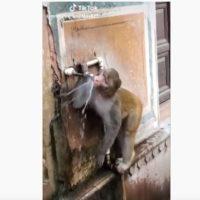 El mono 'ahorrador' que cierra el grifo después de beber