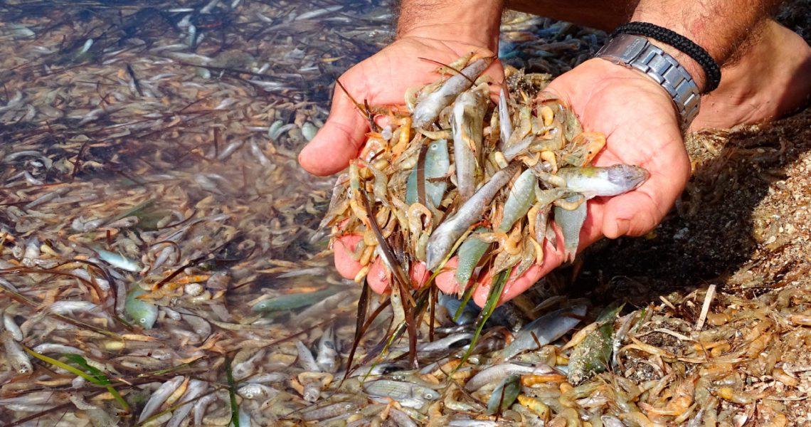 El mar Menor se contamina sin tapujos, incumpliendo la ley descaradamente.