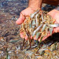Miles de peces mueren a orillas del Mar Menor