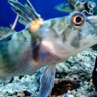 Descubren un motivo por el que existe un pez con sangre blanca