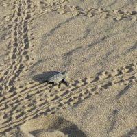 Nacen las primeras tortugas bobas de la temporada en Barcelona