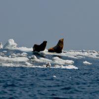 La pérdida de hielo en el océano Ártico expande epidemias entre la fauna