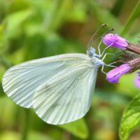 Las mariposas, testigos del calentamiento de Sierra Nevada