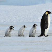 El pingüino emperador se encamina hacia la extinción