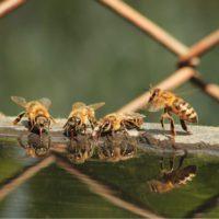 """Las abejas han aprendido a """"surfear"""" para evitar ahogarse"""