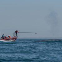 El corazón de la ballena azul se adapta a sus piruetas acuáticas