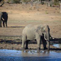 Una gran sequía obliga a Zimbabue a trasladar sus elefantes