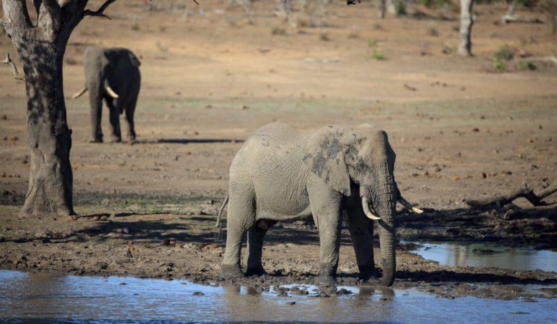 Una bacteria causó la muerte de cientos de elefantes en Botsuana