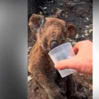 Un koala bebe un vaso de agua tras los incendios en Australia