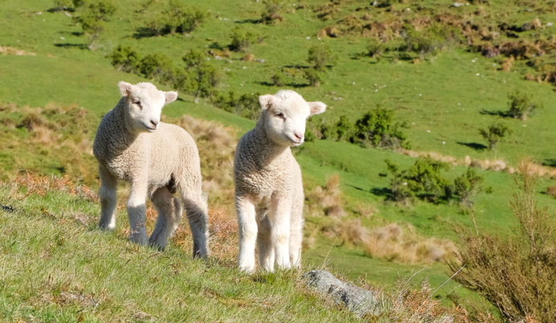 """Nueva Zelanda cría las primera ovejas """"bajas en emisiones de metano"""""""