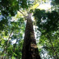 Hallan el árbol más alto de la cuenca del Amazonas: 88,5 metros