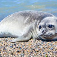 Una foca permite descifrar la transferencia de calor en los océanos