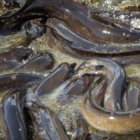 Liberan anguilas en el Mar Menor para seguir sus rutas migratorias