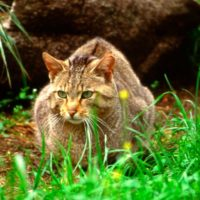 """Científicos alertan de la """"extinción silenciosa"""" del gato montés"""