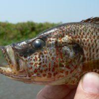 La confusión de unos peces ha producido especies nunca vistas