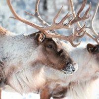 Papa Noel no se quedará, de momento, sin renos por el cambio climático