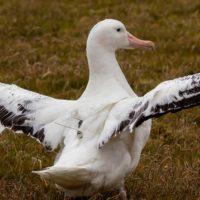 Los albatros, los nuevos espías de las embarcaciones ilegales