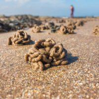 'Arenicola marina', el gusano que construye castillos de arena con sus deposiciones