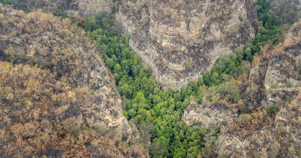 Australia salva del fuego la única población de 'Wollemia', un árbol de hace millones de años