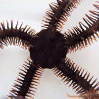 Las 'estrellas de mar' que pueden ver sin ojos