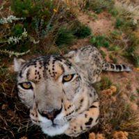 A este leopardo de las nieves no le hace gracia que le graben