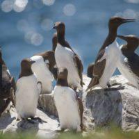 Una ola de calor marina mató más de un millón de aves en EEUU