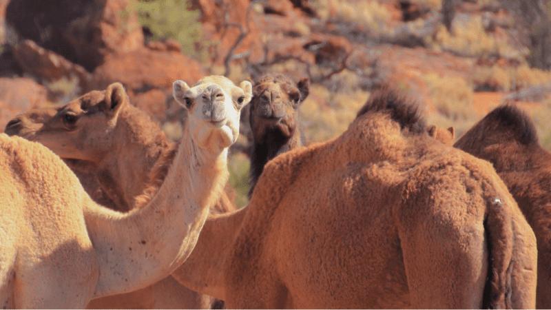 Australia matará miles de camellos salvajes que compiten por el agua