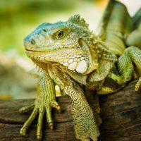 Alerta en Florida por la caída de iguanas de los árboles debido al frío