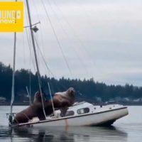 Leones marinos como tripulantes