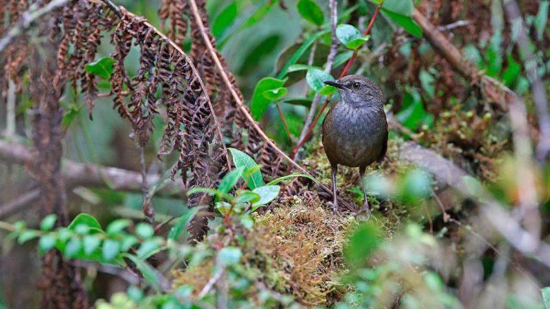 Hallan 10 especies de aves nuevas para la ciencia en Indonesia