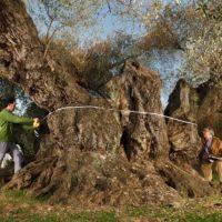 'Sinfo', el olivo de Castellón que ha sido elegido como el mejor del Mediterráneo