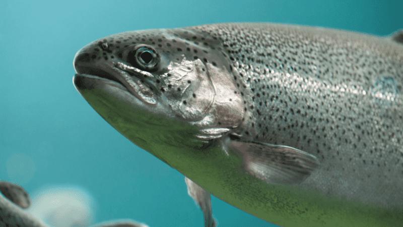 Algunos peces pueden nadar incluso después de la muerte