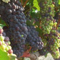 La producción vinícola española, en riesgo por el aumento de calor