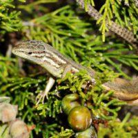 Las lagartijas ibéricas pueden adaptarse a las altas temperaturas