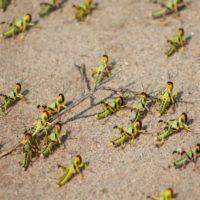 La ONU reclama ayuda para combatir la plaga de langostas de África
