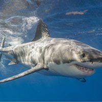 El gran tiburón blanco del Mediterráneo está en peligro de extinción