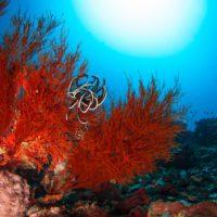 El MAPA controlará la venta de coral rojo extraído antes de la veda de abril