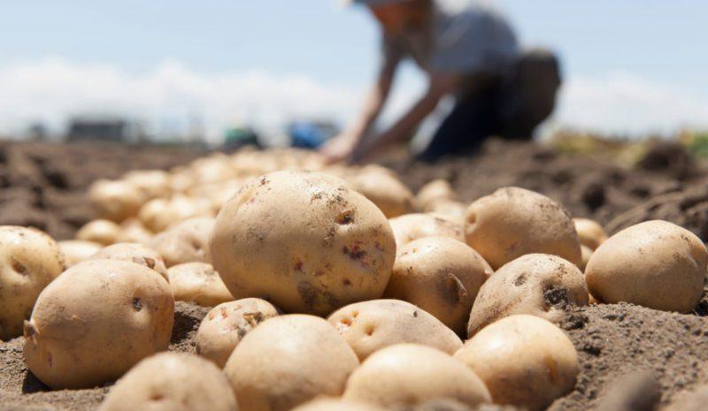 La patata, un cultivo esencial para mantener la seguridad alimentaria
