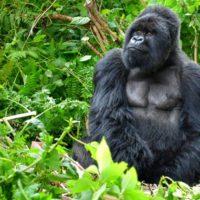 Piden proteger del coronavirus a los últimos gorilas de montaña