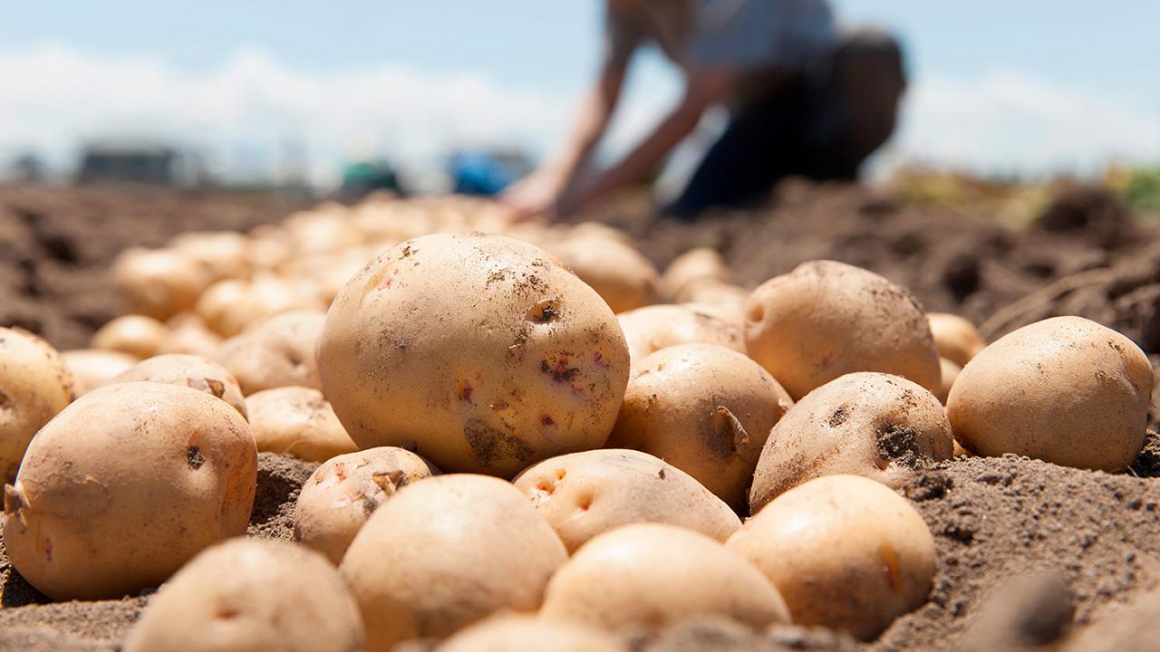 La Patata Un Cultivo Esencial Para Mantener La Seguridad Alimentaria