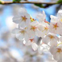 Los cerezos del Jerte florecen antes por el calor de este invierno