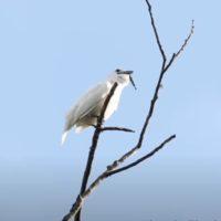El Campanero blanco: el pájaro más escandaloso del mundo