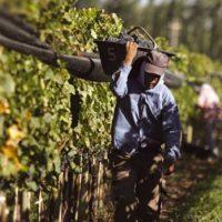 Agricultura permitirá trabajar y cobrar el paro para cubrir 85.000 puestos de jornalero