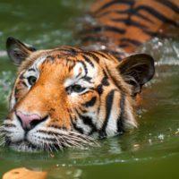 Confirman que un tigre del zoo de Nueva York tiene el coronavirus