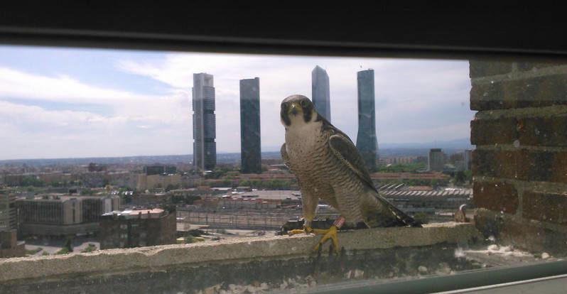 Un halcón, junto a su nido en un edificio de viviendas particular en Madrid.   Foto: SEO/BirdLife José Miguel de la Cruz