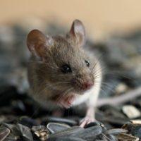 Los mamíferos han transmitido, al menos, 142 virus a las personas