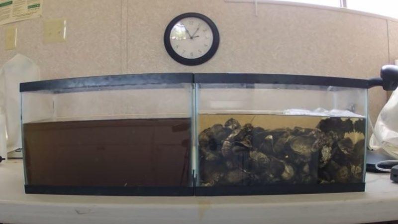 Las ostras: los riñones del océano