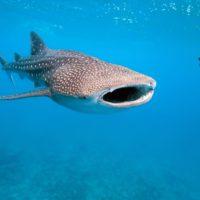 Las bombas atómicas, clave para hallar la edad de los tiburones ballena