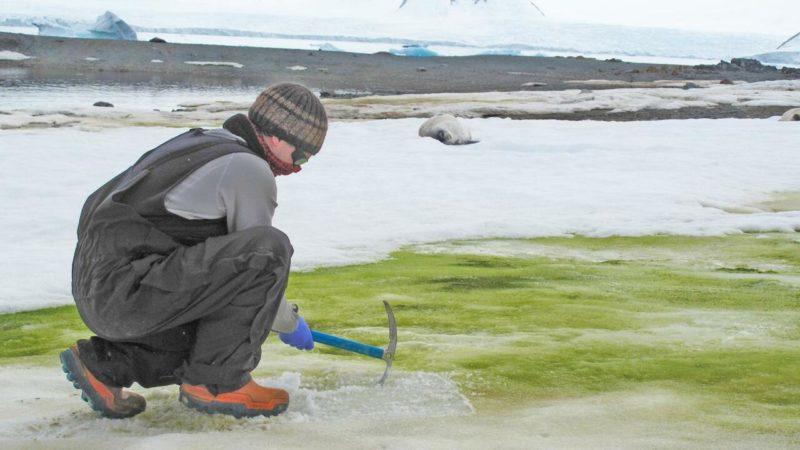 Las altas temperaturas pueden extender la nieve verde en la Antártida
