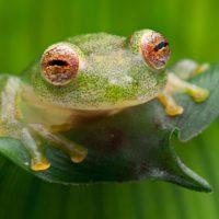 La ranas de cristal esconden un nuevo tipo de camuflaje en su piel